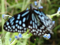 Butterfly in Dzongu