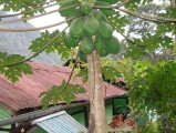13 Papaya Tree